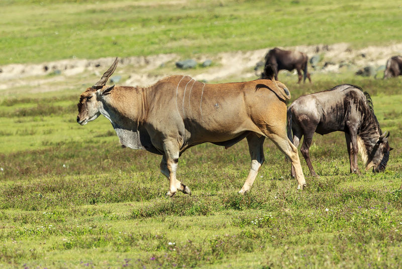 The common eland (Taurotragus oryx), also known as the southern eland or eland antelope, is a savannah and plains antelope found in East and Southern Africa. It is a species of the family Bovidae and genus Taurotragus. Africa Animal Animal Photography Animal Themes Animal Wildlife Animals In The Wild Antelope Common Eland Eland Grass Large Antelope Mammal Nature Nature Nature Photography Ngorongoro Crater No People Outdoors Tanzania Taurotragus Taurotragus Oryx Wild Wildlife Wildlife & Nature Wildlife Photography