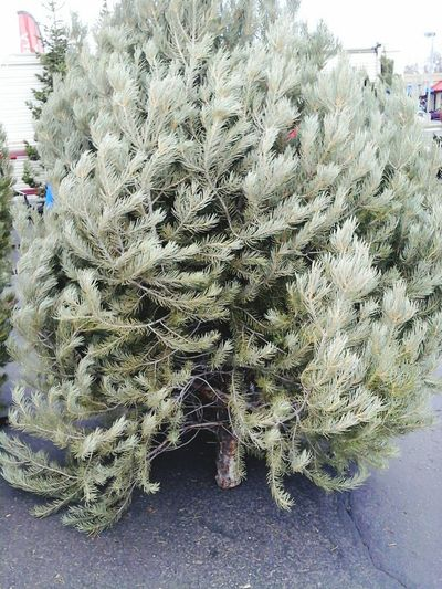 Christmas Tree Tree Lot Christmas Tree Lot Pinion Pine Winter Christmastime Trees Togetherness