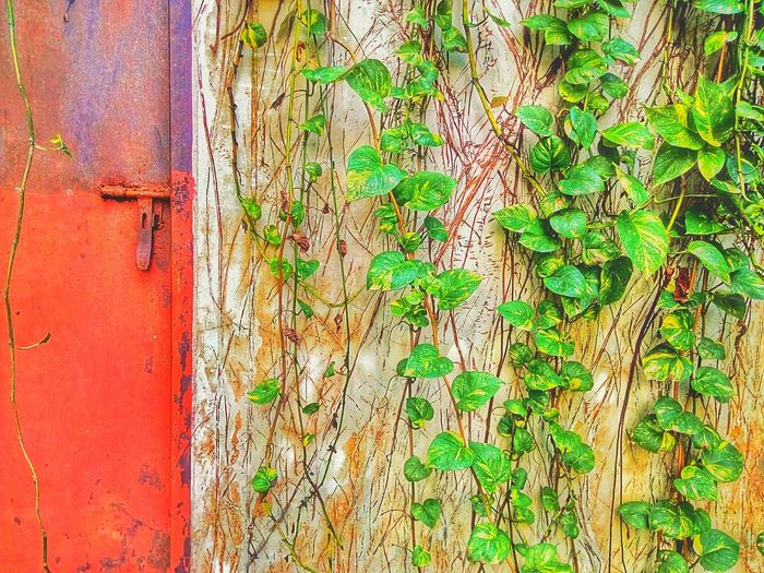 Wall And Ivy Wall And Creeper Door The Door Color Of Nature Creeper On Wall Creeper Collection Creeper Plant Creeper Photography Ivy Photography Ivy Collection Ivy On Wall Ivy Plant Pattern Of Nature Nature Photography Nature Collection Nature Color Leaf Photography Leaves Photography Leaf Collection Leaves Collection Leaf Leaves Nature Ivy Creeper Pattern Textured  Textured