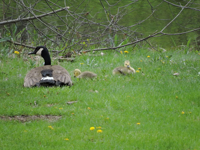 Goslings Animal Themes Plant Animal Animal Wildlife Vertebrate Animals In The Wild Group Of Animals Land Bird Grass Young Animal Nature No People Day Young Bird Green Color Tree Field Animal Family Outdoors Gosling