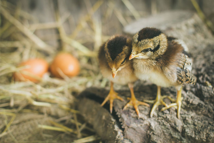 Close-up of chicks at farm