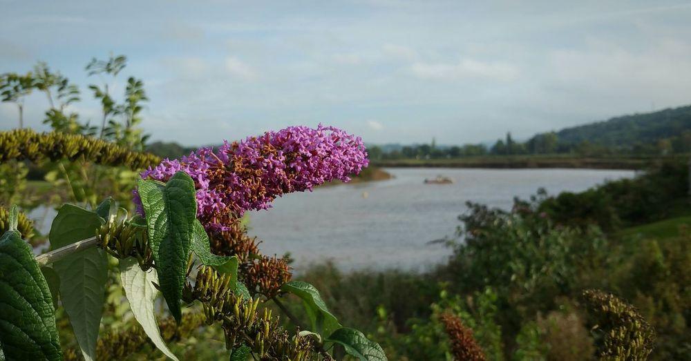 Buddleia on river bank Beauty In Nature Flower Purple Plant Water Landscape Depth Of Field River Riverbank Riverside Buddleia Buddleja Butterfly Bush Caerleon Wales