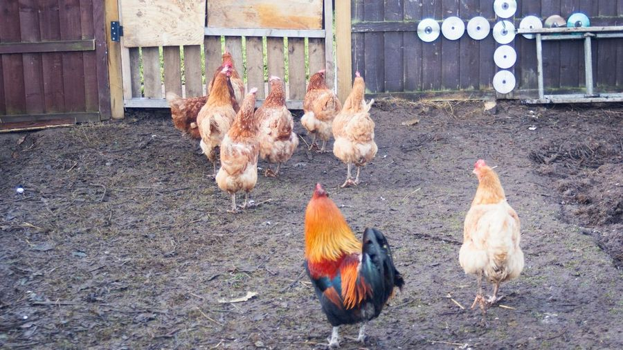 Farmyardanimals Livestock Domestic Animals Animal Themes Chicken - Bird Mammal No People Large Group Of Animals Hen Poultry Day Bird Rooster Outdoors Nature Captive Animals Hens Hens And Chickens Chickens