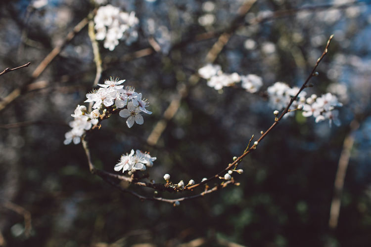 Springtime Decadence Plant Flower Fragility Flowering Plant Vulnerability  Growth Beauty In Nature Close-up Focus On Foreground Nature Tree Freshness White Color Day No People Blossom Branch Twig Springtime Petal Outdoors Flower Head Cherry Blossom Cherry Tree Spring
