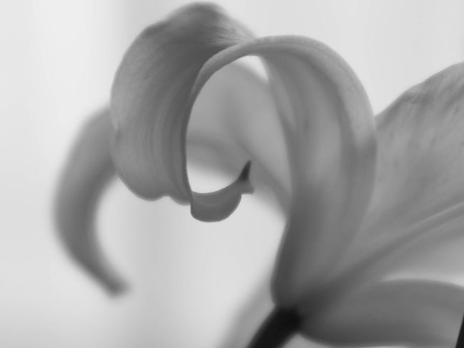 Flowers Nature Blackandwhite Lily Monochrome Flowerporn Bw_collection EyeEm Nature Lover Light And Shadow 花