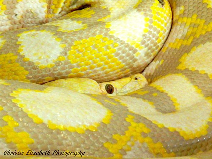 Snake Snakes Snake ♥ Snake! SnakeEyes Snake!!  Snakes♥ Reptile Reptiles Reptilien Reptilelove Reptilecollection Animal Yellow Scales New Braunfels TX New Braunfels Texas New Braunfels Texas Reptile World Reptile!!  Snake Eyes Snakeskin Snakes Are Beautiful Reptile Eyes