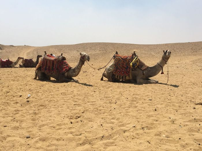 Group of camels at the desert in Giza, Egypt EyeEm Selects Land Sand Camel Desert Sky Nature Mammal Domestic Animals Animal Themes Sunlight Group Of Animals Working Animal Clear Sky Day Animal