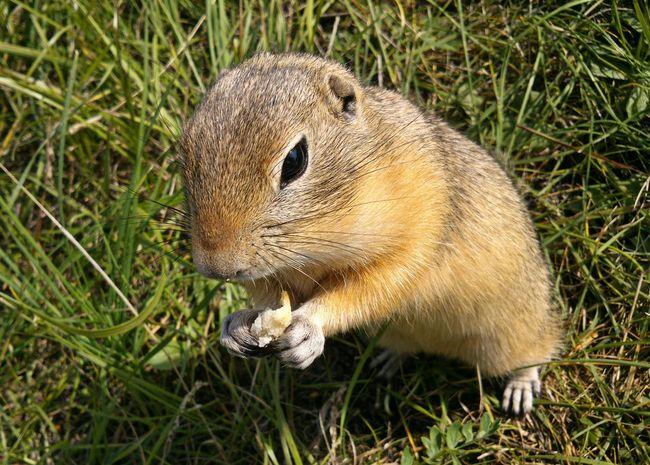 Animal Beggar Creature Eating Fauna Faunae Glutton Gopher  Ground Squirrel Little Siberia Fauna Small Suslik суслик