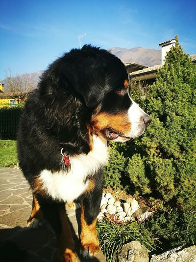 1st pic Animal Themes Dog Domestic Animals Bernese Mountain Dog First Eyeem Photo