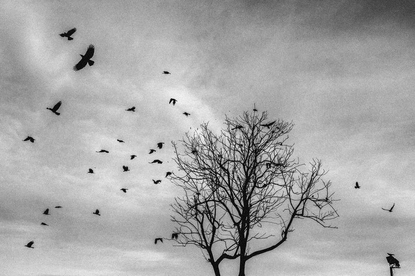 Escape from Life #alone #bw #Crow #life #tree Animal Themes Animal Wildlife Animals In The Wild Bare Tree Bird Day Flock Of Birds Flying Freedom Large Group Of Animals Nature No People Sky Spread Wings Togetherness Tree