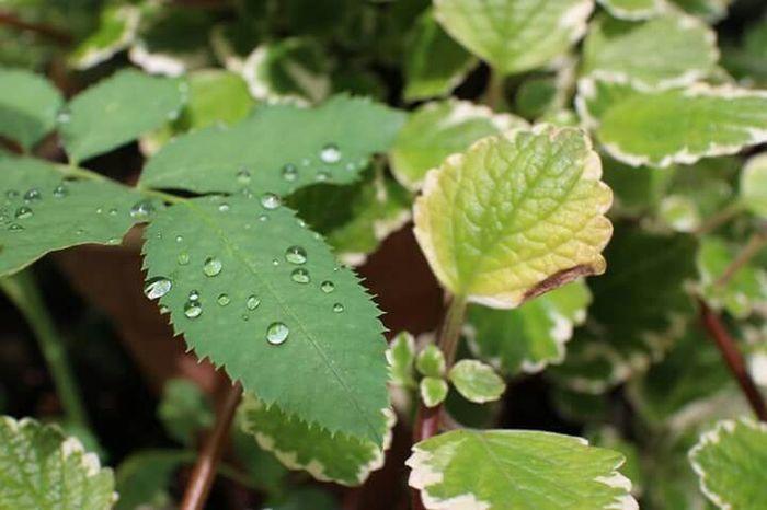 2015.8.13 Green Reaf Raindrops朝露