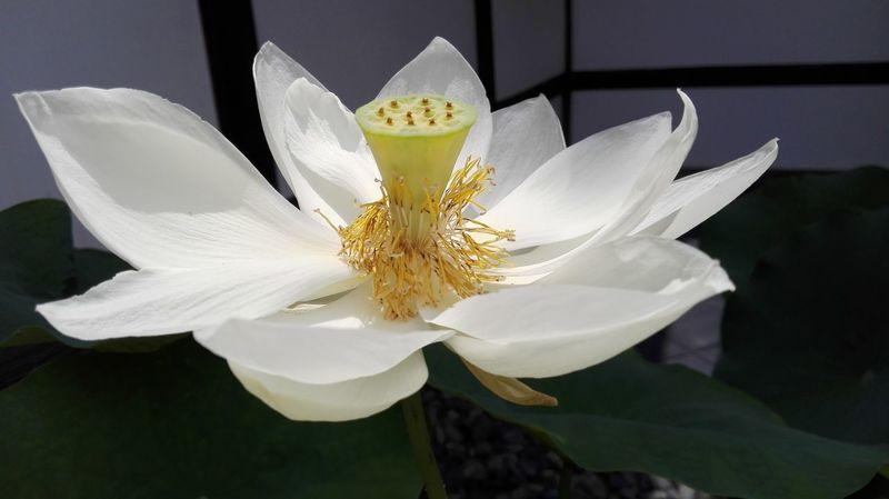 Lotus Arishayima Japan UltimateJapan