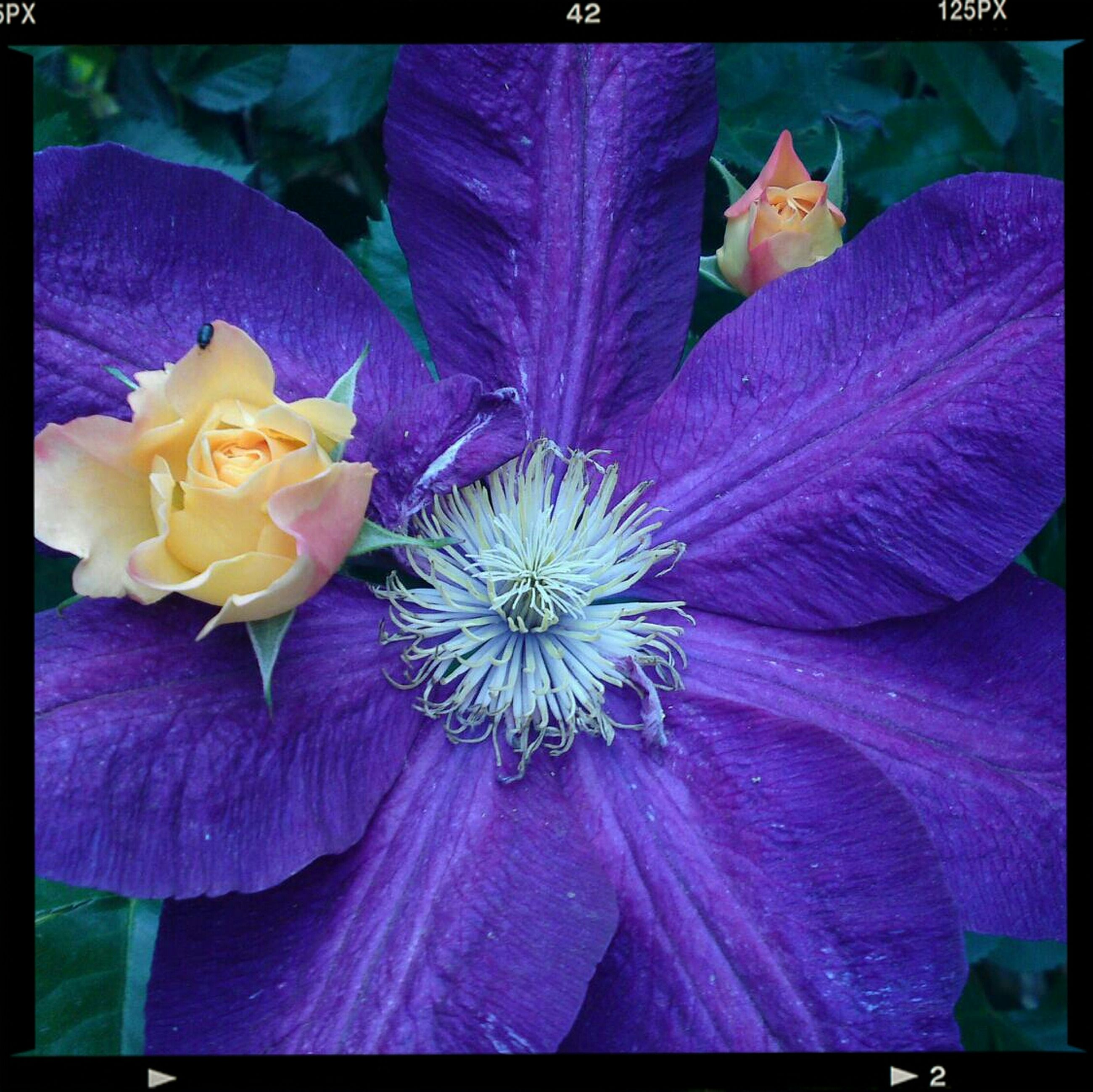 transfer print, auto post production filter, flower, petal, fragility, freshness, flower head, close-up, high angle view, beauty in nature, nature, growth, frame, purple, day, full frame, multi colored, no people, outdoors, water