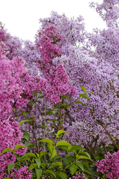 Flieder,Germany Beauty In Nature Blooming Blossom Botany Close-up Day Flieder Fliederbaum Flower Flower Head Fragility Freshness Growth Lilac Nature No People Outdoors Pink Color Plant Purple Springtime Tree