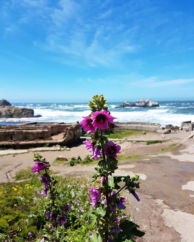 Flower Beach Sea Landscape Sand Nature Tranquility Purple Horizon Over Water Sunny Beauty In Nature No People Scenics Travel Destinations Vacations San Francisco Sutro Baths Purpleflower Nofilter Beautiful Bright Colors Bright Positive Beauty Paradise The Great Outdoors - 2017 EyeEm Awards
