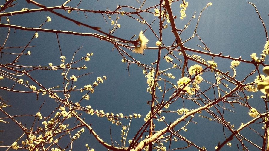 Winter End Flowers Sunlight Flowers In The Sky Birth Renaissance Cherry Tree Nature Perfume Fragance
