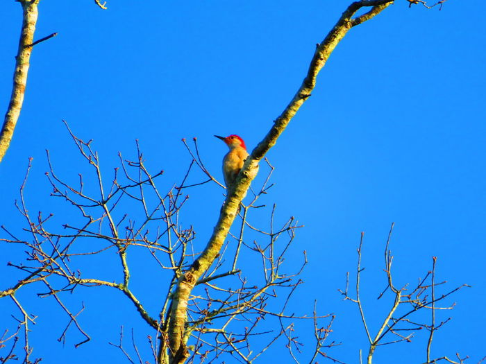 Small woodpecker Woodpecker Small Woodpecker Bird Tree Perching Clear Sky Branch Bare Tree Blue Sky Animal Themes