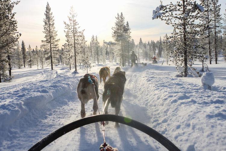 Husky sledging, outdoor winter activity in finland