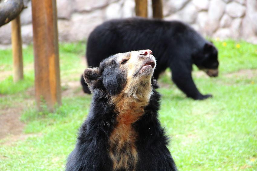 Animal Themes Close-up Focus On Foreground Mammal Nature One Animal Oso Andino Oso De Anetojos Spectacled Bear Tremarctos Ornatus