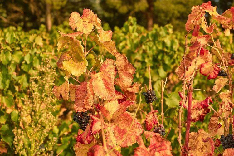 Leaf 🍂 Fall Colors Fruits Vineyard Vineplant Light Nature Real People Vignette