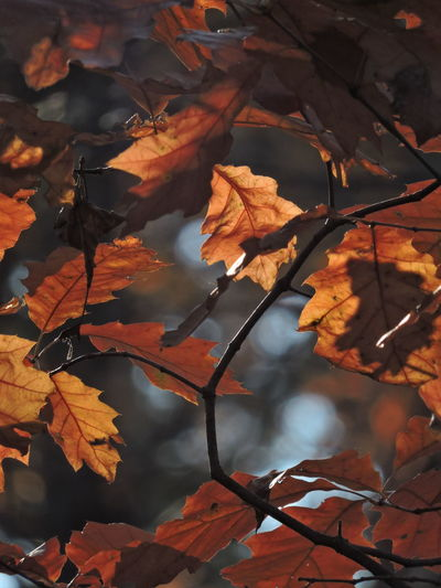 Autumn Mood Autumn Leaf Plant Part Change Leaves Nature No People Orange Color Plant Beauty In Nature Close-up Dry Tree Day Outdoors Focus On Foreground Maple Leaf Vulnerability  Branch Tranquility Natural Condition Autumn Collection Fall