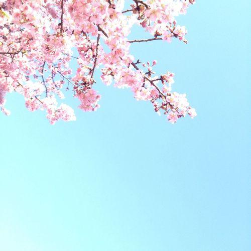 河津桜?Sakura