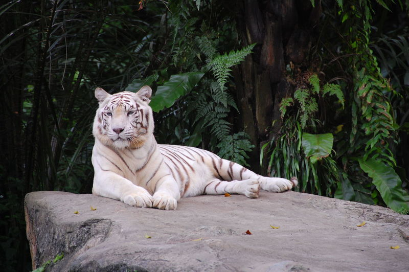 White tiger resting on rock