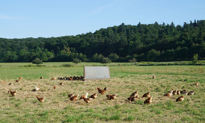 Chicken pen outdoors Agriculture Animal Themes Animals In The Wild Beauty In Nature Chicken Chicken Penthouse Clear Sky Day Domestic Animals Farm Field Germany Grass Grazing Large Group Of Animals Livestock Nature No People Organic Chicken Outdoors Rural Scene