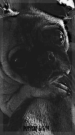 Ernie The Pug Pugs Ilovepugs Streamzoo Family