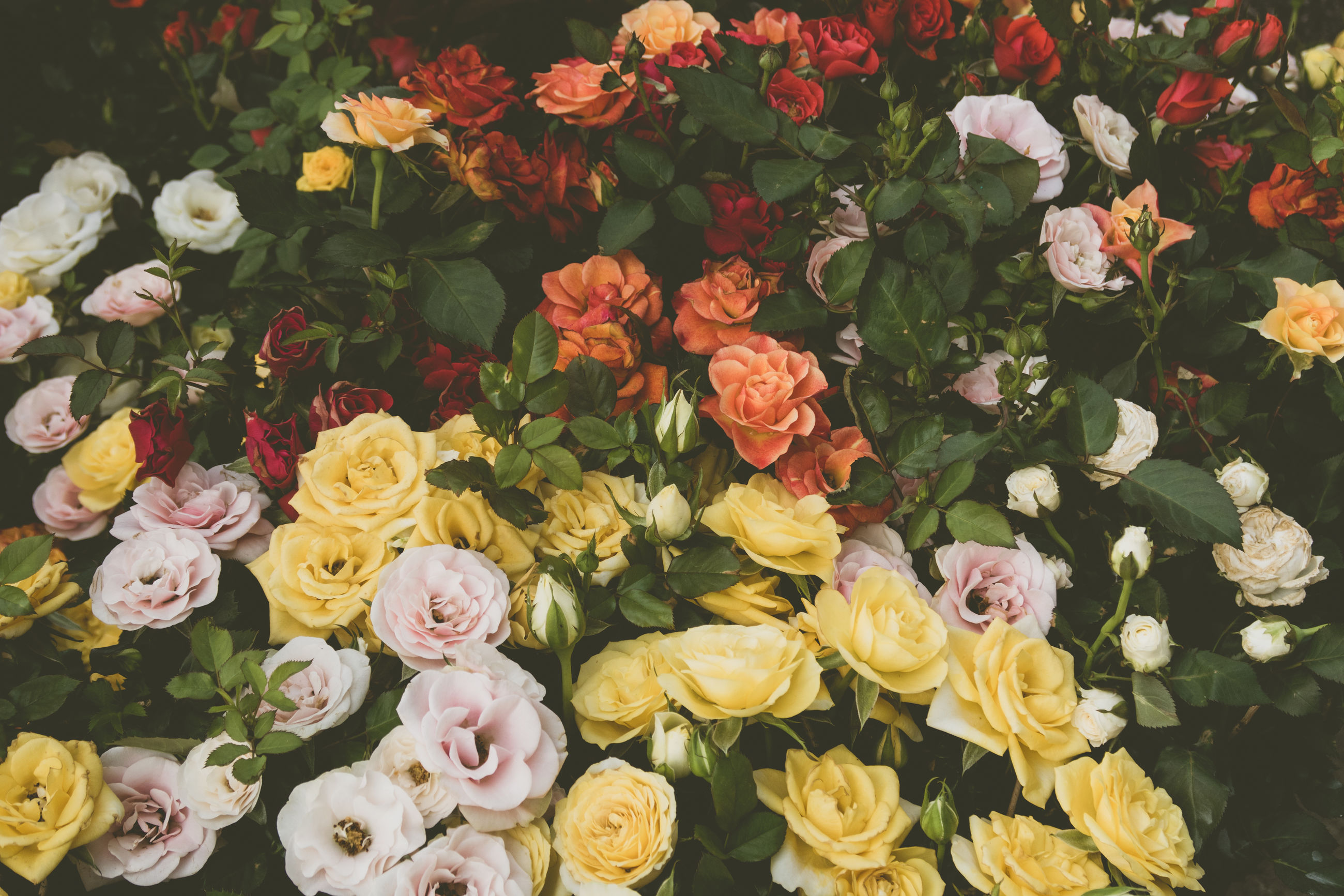 flower, freshness, fragility, petal, beauty in nature, rose - flower, flower head, backgrounds, growth, high angle view, full frame, nature, close-up, multi colored, yellow, variation, plant, bunch of flowers, springtime, colorful, bouquet, blooming, pink color, day, rose, blossom, flower arrangement, botany, various, in bloom, no people