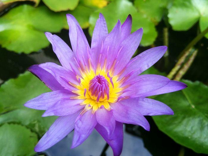 Lotus bloom Lotus Lotus Flower Flower Nature Beauty In Nature Close-up Plant Growth Outdoors ดอกบัว บัว Lotus Leaf Lotus Garden Purple Purple Flower