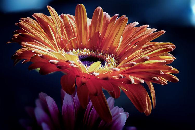 Close-up of orange gerbera daisy against black background