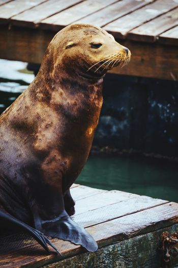 Close-Up Of Sea Lion On Pier
