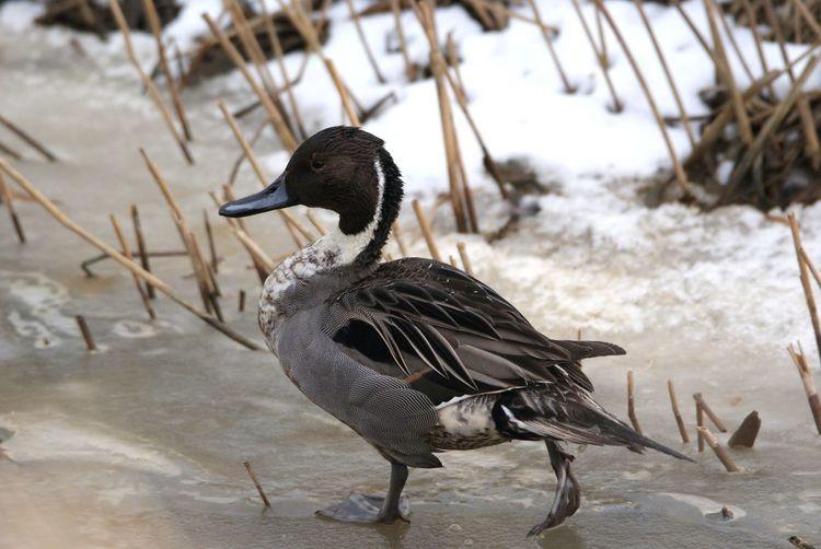 Spießente Spießente Spießenten Ente Enten Enterich Erpel See Fluss Sea Nordsee Winter Wasser