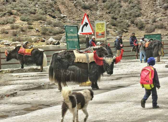 Huge yaks found in sikkim Sikkim India Scenics Landscape Road Domestic Animals Mammal Kid Dog Mountain Snow Day Outdoors American Bison Cattle Livestock Beauty In Nature Nature Rethink Things