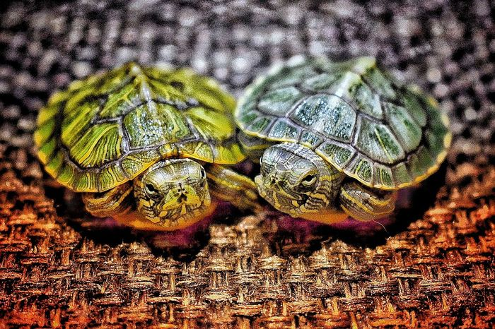 Be. Ready. Animals Pets Indoors  Close-up Happiness Turtle Dharamshala , Himachal Pradesh, India NIKON D5300 Love No People Pattern Full Frame Day