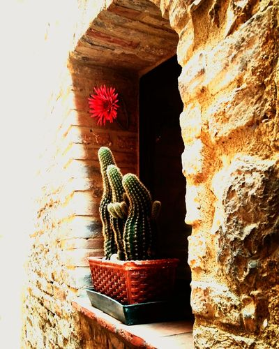 Italy Sangimignano Window Details Cactus Flower Cactuslover Cactus Collection Cactus Flowers Architecture Travel Destinations Travel Photography Tranquility Spring Flowers Bella Italia Flowers,Plants & Garden San Gimignano Mix Yourself A Good Time Your Ticket To Europe