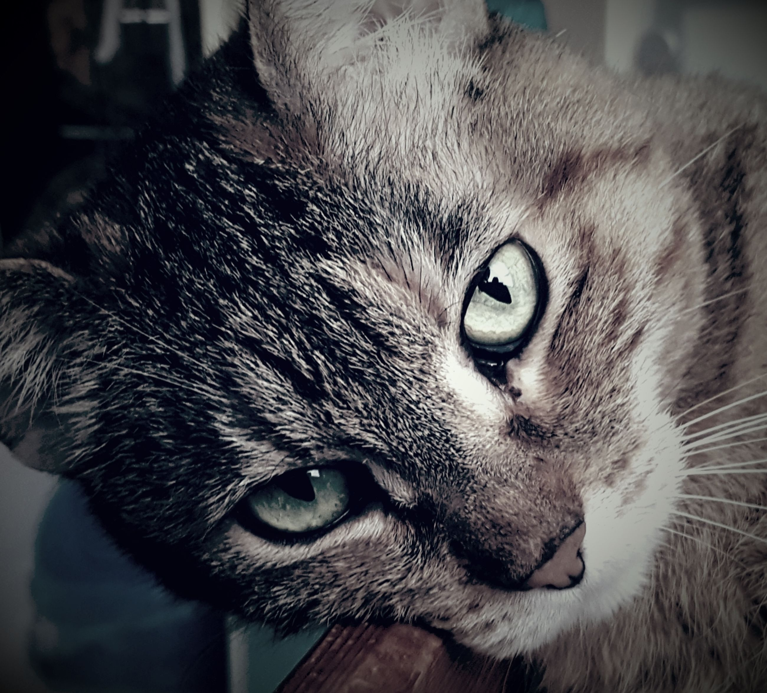 domestic cat, domestic animals, one animal, pets, close-up, animal themes, mammal, indoors, portrait, feline, whisker, looking at camera, no people, day