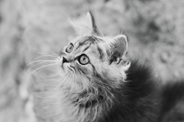 Kitten Animal Themes Pets Portrait Close-up Whisker Animal Eye Animal Face Persian Cat  Kitten Feline Cat HEAD Animal Head
