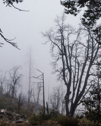 Bare Tree Beauty In Nature Branch Cold Fog Foggy Forest Growth Low Angle View Mystery National Park Nature No People Non Urban Scene Outdoors Tall - High Tranquil Scene Tranquility Tree Tree Trunk Yosemite National Park