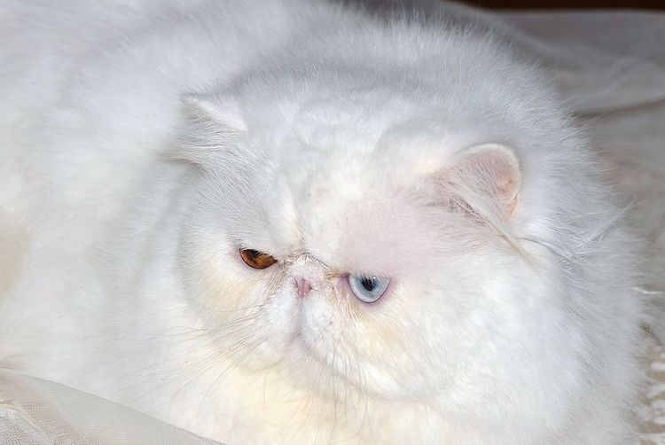 Persian Cat  Persians Animal Themes Cat Cats Close-up Day Domestic Animals Domestic Cat Feline Indoors  Mammal No People One Animal Persian Cat  Pets Portrait Whisker White Persian Cat