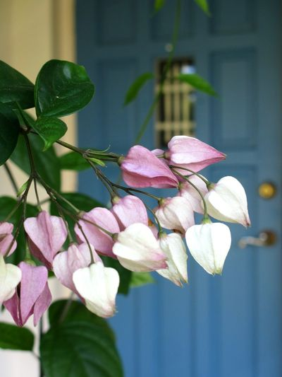 welcoming entrance Focus On Foreground Flower Head Beauty In Nature Day Outdoors Petal No People Fragility Pink Color Flower Nature Flowering Vines Pastel Flowers Entranceway Front Door Bleeding Heart Flowers Flower Buds Nature At Your Doorstep Bleedinghearts Pastel Nature Bleeding Hearts Blue