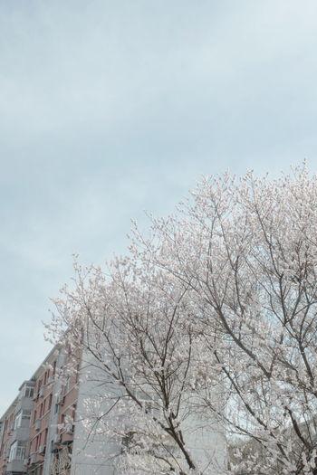 今早行过树下,仿佛几点新芽,想是雾霾过后,大料能看桃花。 peach flower Sky Nature Low Angle View Flower Peach Flowers Spring