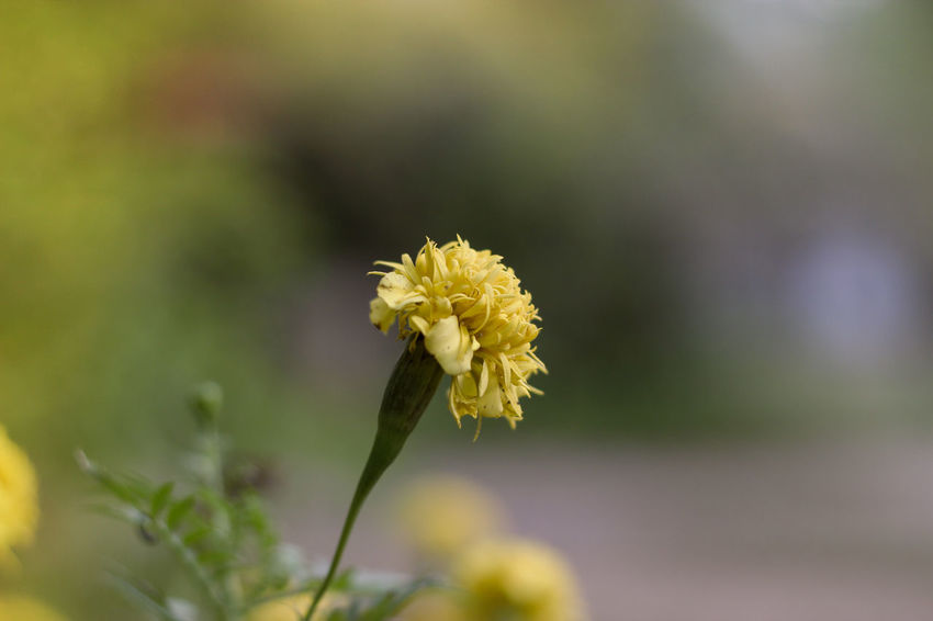 single flower Beauty In Nature Blooming Close-up Day Flower Flower Head Focus On Foreground Fragility Freshness Growth Nature No People Outdoors Petal Plant Yellow