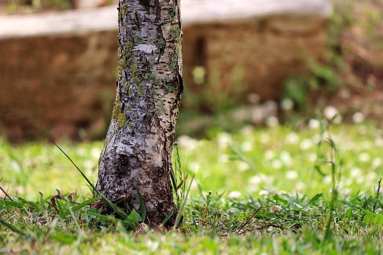 Beauty In Nature Close-up Day Grass Growth Nature No People Outdoors Tree Tree Tree Bark Tree Bark Texture Tree Bark Textures Tree Trunk Tree Trunk Tree Trunk And Grass Tree Trunk Close Up Tree Trunk. Tree Trunks Trunk Detail Trunk Tree