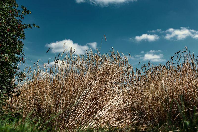 Plant Sky Cloud - Sky Growth Nature Beauty In Nature No People Day Grass Tranquility Land Scenics - Nature Tranquil Scene Field Environment Non-urban Scene Outdoors Landscape Tree Blue Marram Grass Getreidefeld Ähren Wind Erntezeit Umgeworfenes Getreide