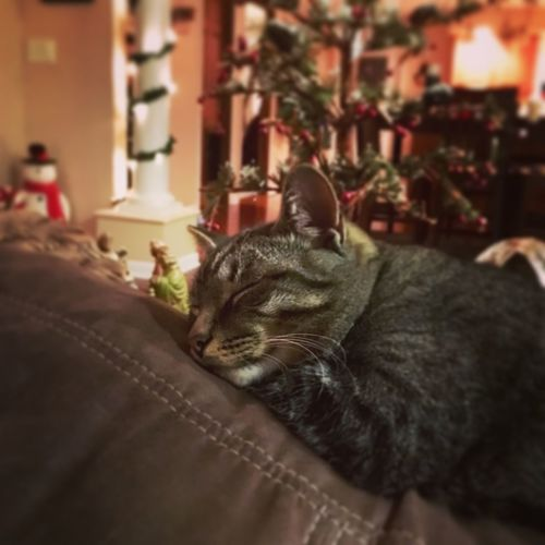 Sleepy Christmas kitty 😊 Sleepy Christmastime Cat Domestic Animals Animal Themes Indoors  Mammal Relaxation Close-up