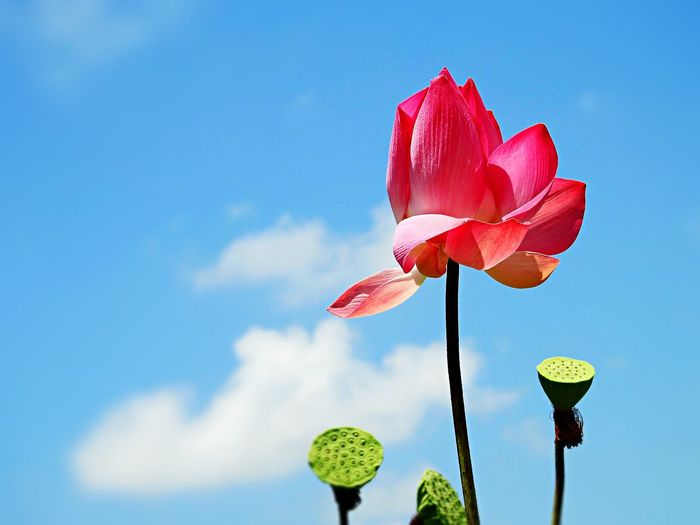 Low angle view of pink lotus blooming against sky