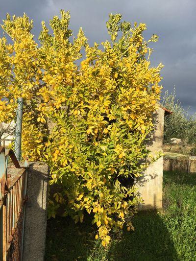Lemontree Rainy Days