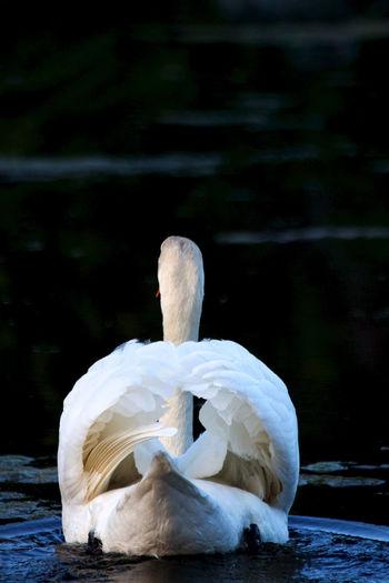 Rear view of swan floating at lake